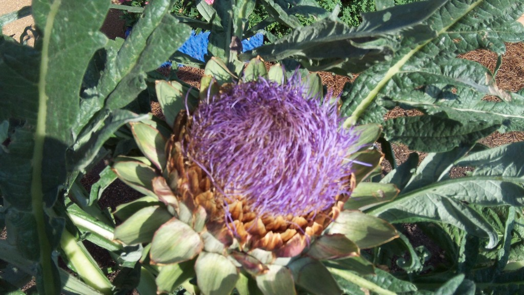 This is what happens when an Artichoke blooms