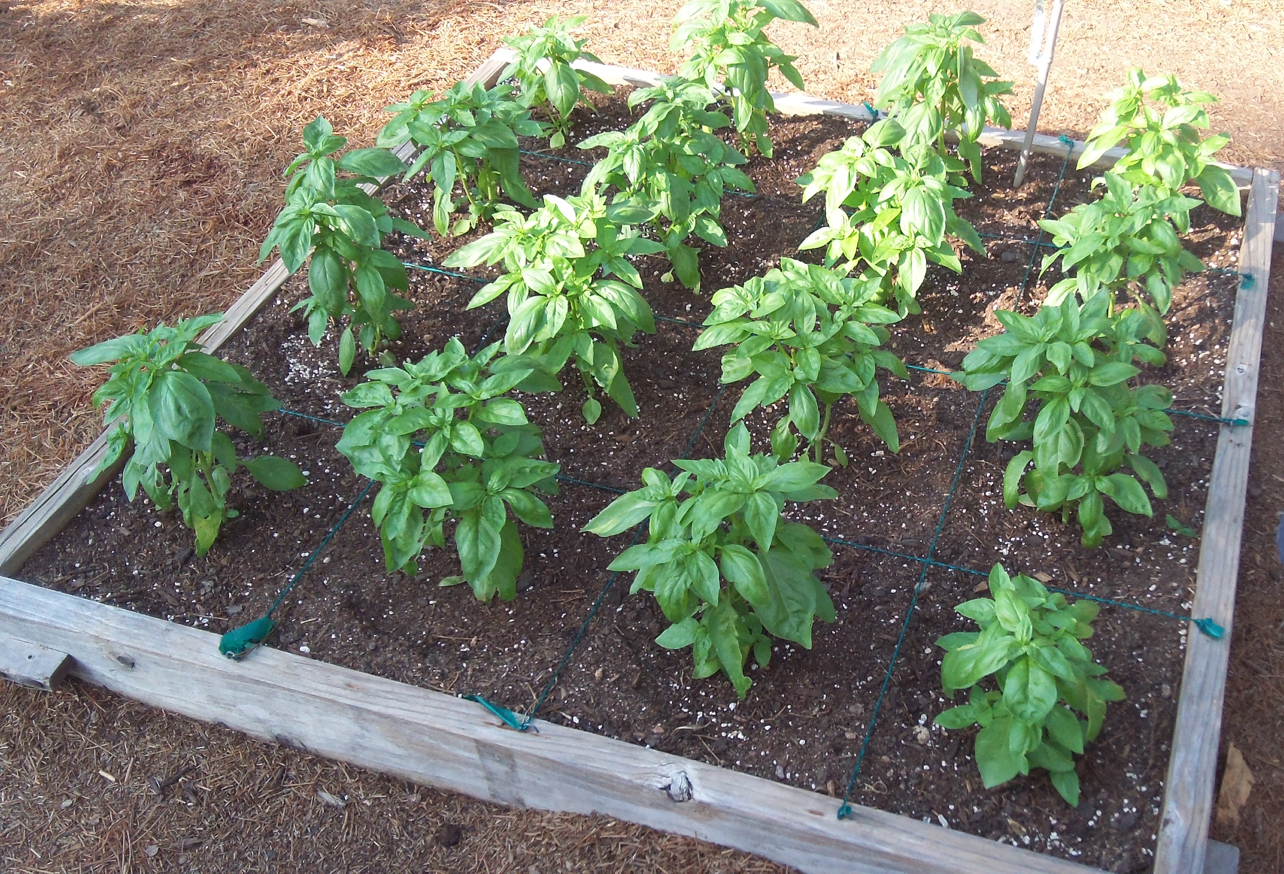 Basil Planted In Four Foot By Four Foot Square Foot Garden